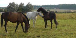 Spielende Pferde Offenstall