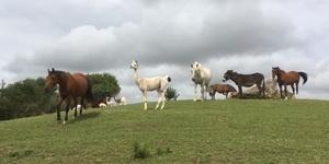 Offenstallhaltung Pferde Alpaka Esel