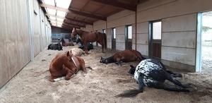 Offenstall, schlafende Pferde